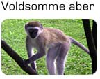 Voldsomme aber
