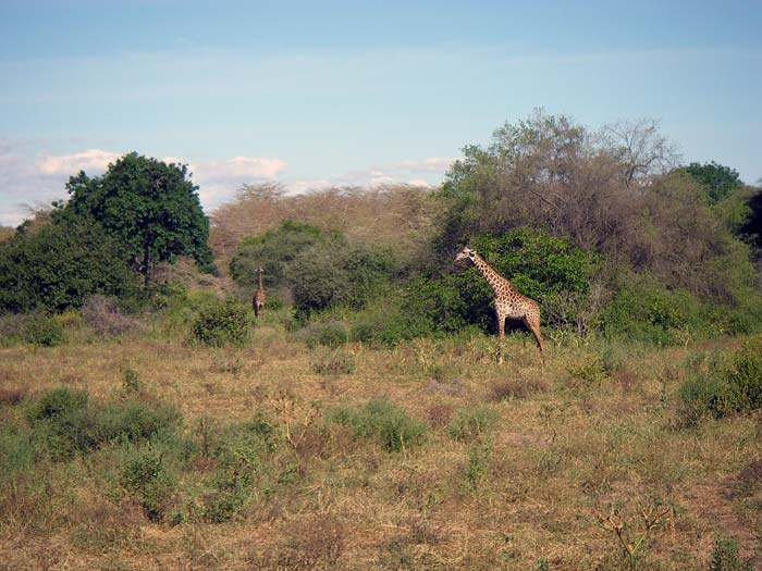 Giraffer i Lake Manyara National Park